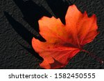 Single Red Maple Leaf On The...