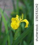 Small photo of Iris pseudacorus, yellow flag, yellow iris, water flag