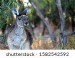 Brown Kangaroo Sitting On Grass ...