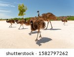 Wild Emu Family In The Bush At...