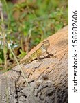 Small photo of Close up of a colorful wild lizard (Agamidae) on rock. Selective focus on face.