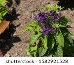 Heliotrope Cherry Pie Plant...