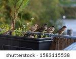 House Sparrows On A Balcony...