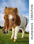 Brown And White Shetland Pony...