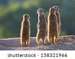 Surricate Meerkats Standing...