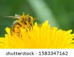 Honey Bee On Yellow Flower In...