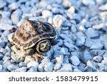 Little Turtle On Rock Road It...