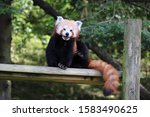 Female Red Panda  Yasmin ...