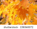 close up of oak tree leaves at...   Shutterstock . vector #158360072