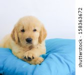 Stock photo puppy 158363672