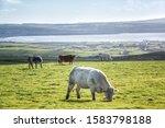 Cattle Grazing On Green Grasse...