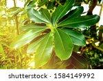 beautiful plumeria flower for...   Shutterstock . vector #1584149992