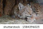 lynx looks with predatory eyes... | Shutterstock . vector #1584396025