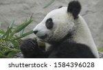 panda eat juicy bamboo branches ... | Shutterstock . vector #1584396028