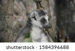 ring tailed lemur lemur catta... | Shutterstock . vector #1584396688