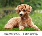 poodle dog | Shutterstock . vector #158452196