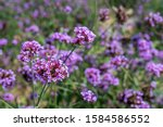 Close Up Verbena Purple And...