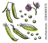 green peas in pods. colorful... | Shutterstock .eps vector #1584589375