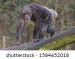 Female Chimpanzee  Banika ...