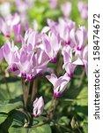 Spring Cyclamen  Gentle Purple...
