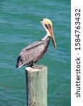 Brown Pelican perched on dock piling post with sea in the background, Florida Keys