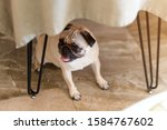 Pug Dog Standing Under The...