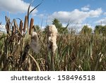 Reed Plant In Autumn In The...