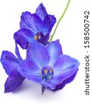 Dark Blue Delphinium Flower...