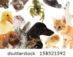 Stock photo collage of different cute animals 158521592