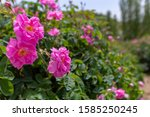 Pink Roses Harvested For Making ...