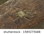 Reddish Parachute Spider ...
