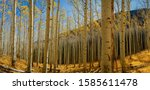 Panoramic aspen forest with golden yellow leaves on the trees and on the ground with a mountain in the background and blue skies in the Coconino National Forest.