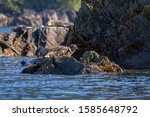 Harbor Seal Resting On The...