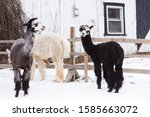 Cute black and white faced tricoloured alpaca standing in fresh snow in a pen, with two other animals in soft focus background, Quebec City, Quebec, Canada