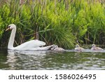 Family Of Swans Floating On Th...