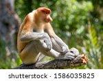 Male Proboscis Monkey At Labuk...