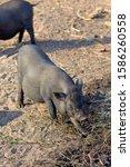 Pigs On The Farm. Dark Color...