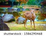 Japan. Japanese Deer. The City...