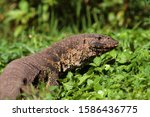 The Monitor lizard is the largest lizard in Africa and one of the main predators of crocodile eggs and hatchlings