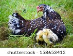 mother hen sitting on grass and ...   Shutterstock . vector #158653412