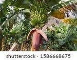Bananas Growing And Ripening O...