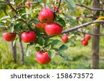 Red Ripe Apples On Tree In...