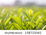 green tea bud and leaves | Shutterstock . vector #158723342