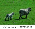 Beautiful View Of Sheep Around...