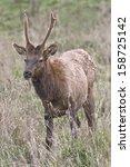 spike bull elk   photograph... | Shutterstock . vector #158725142