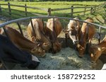 Cows Feeding Hay In The Farm