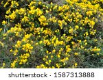 Gorse With Flowers In Brittany