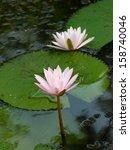 Group Of Pink Lotus Or Pink...