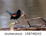 The Red Winged Blackbird...