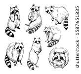 set of raccoon sketches.... | Shutterstock .eps vector #1587651835